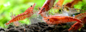 Cherry Shrimp Sale! 10 for 10$!