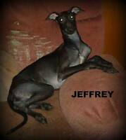 Black Italian Greyhound boy