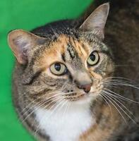 "Adult Female Cat - Domestic Short Hair: ""Lux"""