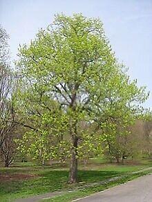 Basswood linden tree