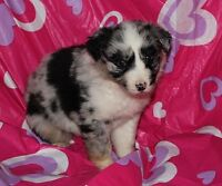 LOVE-ly Australian Puppies For Valentine's Day!!
