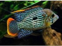 Malawi ,Cichlids