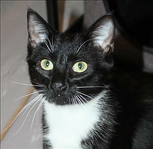 "Young Female Cat - Domestic Short Hair: ""Baila"""