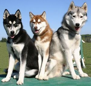 Looking for Siberian Husky Puppy