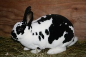 Looking for a Pure Female Mini Rex
