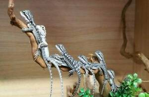 Baby bearded dragons for sale. Salisbury North Salisbury Area Preview