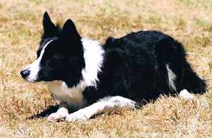 Wanted mature Border Collie Ipswich Ipswich City Preview