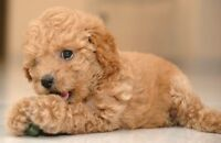 TINY TOY POODLE ( Caniche Nain )