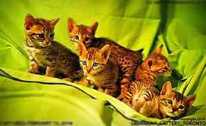 SAVANNAH KITTENS - TICA REGISTERED