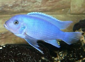 Cichlids Cobalt blue
