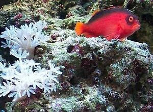 looking for flame hawkfish