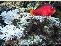MARINE FISH / NICE LITTLE FLAME HAWKFISH , FEEDING WELL