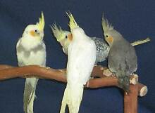 Weiro's - For Sale !!!! ( Babies now ready for Hand Taming etc. ) Orelia Kwinana Area Preview