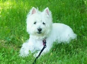 RECHERCHE West Highland White Terriers‎(Westie ) Lac-Saint-Jean Saguenay-Lac-Saint-Jean image 1