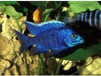 MALAWI CICHLIDS PEACOCKS TROPICAL FISH