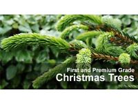 "Premium grade nordman fir Christmas tree ""Free delivery"""