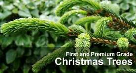 Christmas trees Scandinavian FREE Delivery 7ft 8ft Free delivery in Belfast