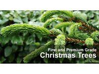 6-7ft real nordman fir Christmas tree
