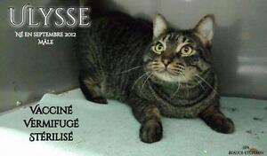 """Adult Male Cat - Domestic Short Hair - gray and white: """"Ulysse"""""""