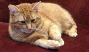 "Adult Male Cat: ""Fluffy and Tigger"" Cambridge Kitchener Area image 2"