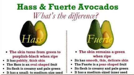 i am looking for HASS AVOCADO TREE