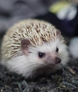 Hedgehog with Accesories