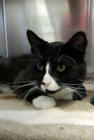 "Adult Male Cat - Domestic Short Hair: ""Amos"""
