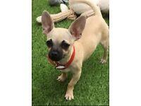 Chihuahua tiny tiny boy puppy with little Apple head