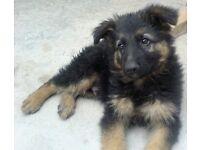 Alsatian pup good home needed free