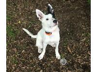 Deaf 6 month collie pup *foster needed*