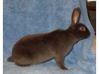 pedigree chocolate rex rabbit velvet fur available