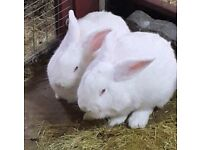 RABBITS X 2 GOOD HOME NEEDED - OPEN TO OFFERS