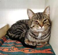 "Adult Male Cat - Tabby - Brown: ""Nester"" Ottawa Ottawa / Gatineau Area Preview"