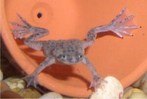 Albino/Brown Dwarf Frogs *Small+Large sizes* +Homes for Sale!