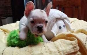 French Bulldog pups-Males- Ready now- reduced! Registered Breeder
