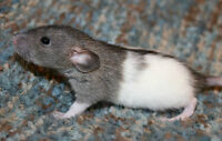 7 Baby Male Dumbo Rats For Sale