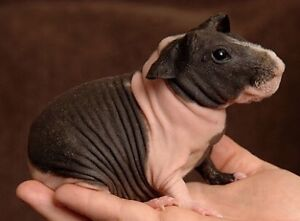 Looking for a Female Skinny Pig