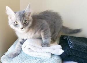 """Young Male Cat - Domestic Short Hair-gray-Tabby - Grey: """"Gibby"""""""