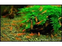 Red cherry baby shrimps for sale - 15 shrimps for £10 or £1 each!!!