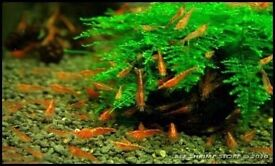 Red cherry shrimps for sale - 15 shrimps for £10 or £1 each!!!