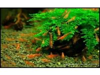 Red cherry shrimps - 15 shrimps for £10 or £1 each !!