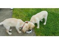 2 labrador pups one left
