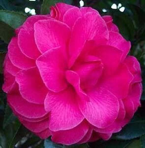 camellia - L T Dees (Hot Pink & frilly) 2m tall in pot Petersham Marrickville Area Preview