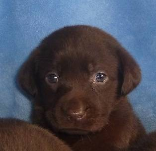 chocolate labrador pups West Perth Perth City Preview