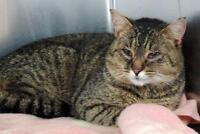 """Adult Male Cat - Domestic Short Hair: """"Tommy"""""""