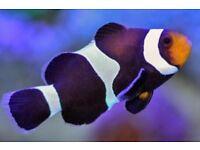 Pair of black and white clownfish