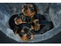 Yorkshire Terrier Puppies Kc Registered