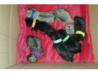 7/8 pug puppies