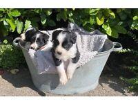 F-1 Spaniel x collie puppies