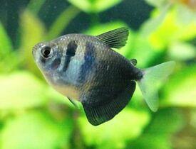 TETRAS TROPICAL FISH